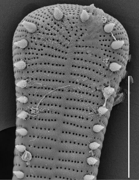 Peronia fibula SEM3