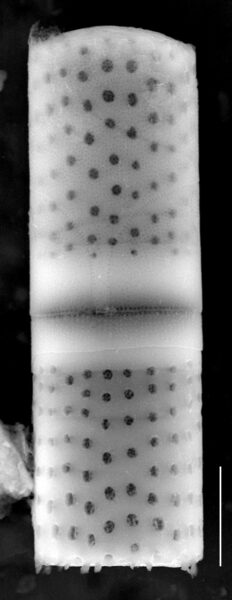 Aulacoseira crassipunctata SEM1
