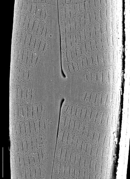 Navicula geronimensis SEM1