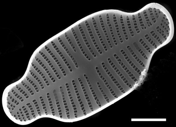 Achnanthidium exiguum SEM1