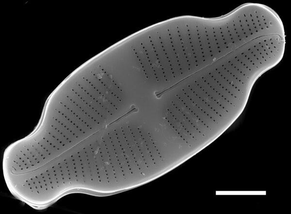 Achnanthidium exiguum SEM2