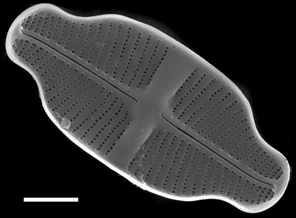 Achnanthidium exiguum SEM3