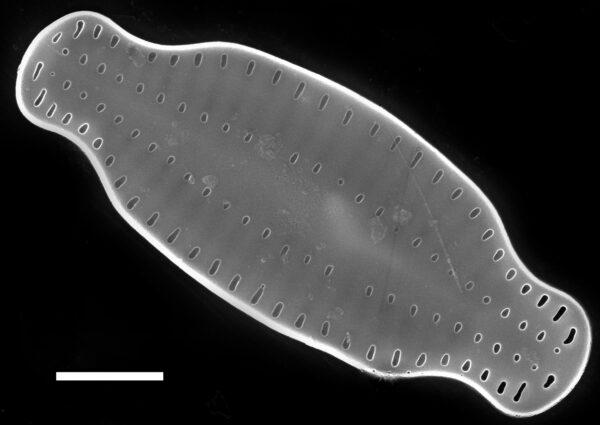Karayevia amoena SEM2