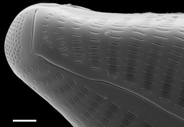Cymbella turgidula SEM1