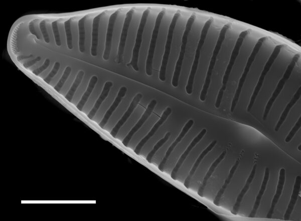 Cymbella turgidula SEM3