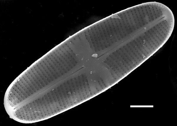 Psammothidium chlidanos SEM3