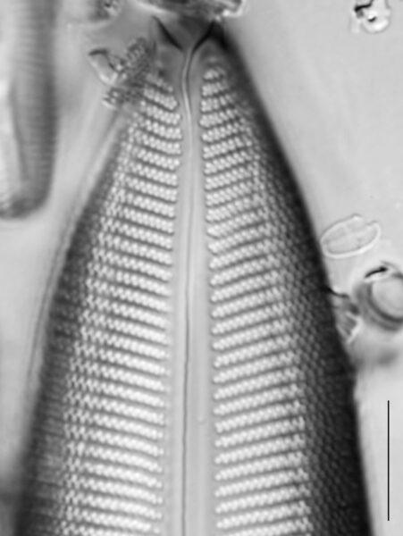 Gomphoneis mammilla SEM1