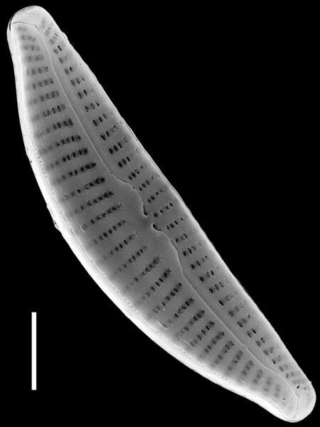 Cymbella excisiformis SEM2