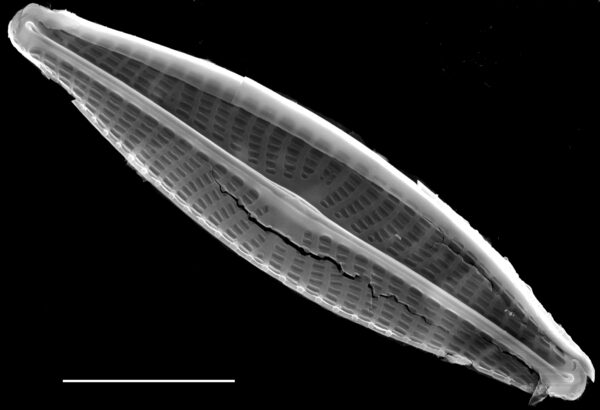 Navicula notha SEM1