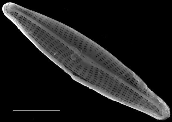 Navicula notha SEM2