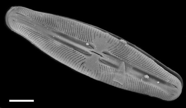 Sellaphora hohnii SEM1
