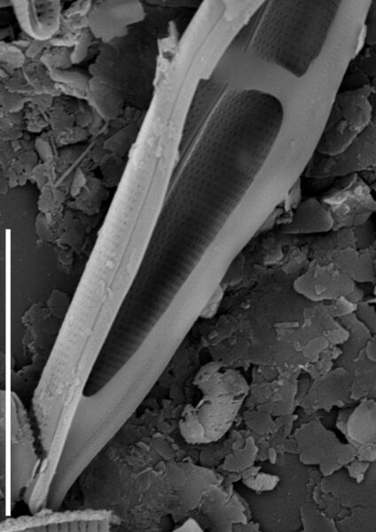 Stauroneis smithii var incisa SEM1