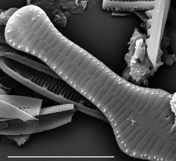 Tabellaria flocculosa SEM1