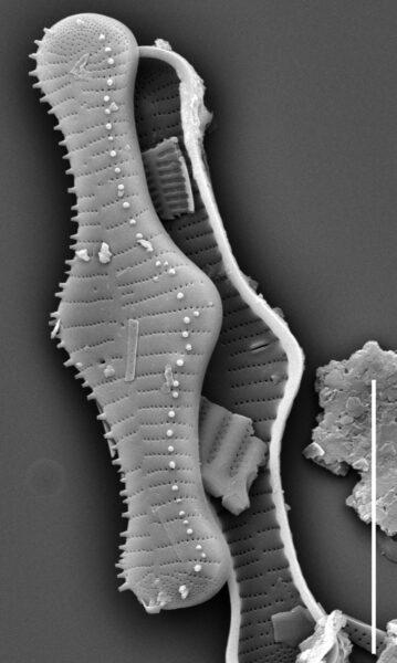 Tabellaria flocculosa SEM4